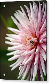 Dahlia Bug Acrylic Print by Chris Anderson