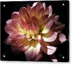 Dahlia Burst Of Pink And Yellow Acrylic Print