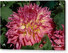 Acrylic Print featuring the photograph Dahlia by Christiane Hellner-OBrien