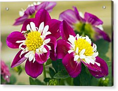 Dahlia Dahlietta 'surprise Becky' Acrylic Print by Science Photo Library