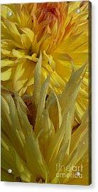 Acrylic Print featuring the photograph Dahlia Dew Yellow by Susan Garren