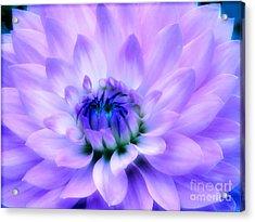 Dahlia Dream Acrylic Print