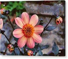Dahlia First Love Acrylic Print