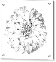 Dahlia Flower As Drawing In Black And White. Acrylic Print by Rosemary Calvert