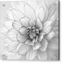 Dahlia Flower Black And White Acrylic Print