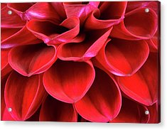 Dahlia Flower Petals Abstract Acrylic Print by Nigel Downer