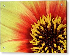 Dahlia Flower' Sunshine' Centre Abstract Acrylic Print by Nigel Downer