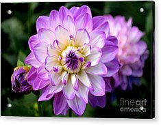 Dahlia Flower With Purple Tips Acrylic Print