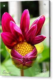 Acrylic Print featuring the photograph Dahlia From The Showpiece Mix by J McCombie