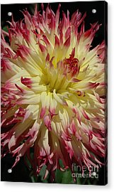 Acrylic Print featuring the photograph Dahlia II by Christiane Hellner-OBrien