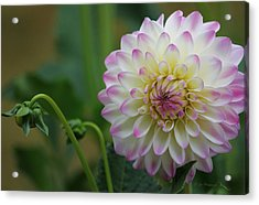 Dahlia In The Mist Acrylic Print