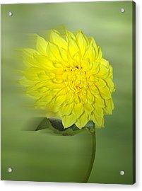 Dahlia In The Wind Acrylic Print