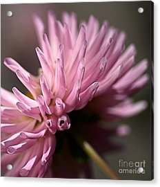 Acrylic Print featuring the photograph Dahlia by Joy Watson