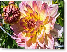 Acrylic Print featuring the photograph Dahlia by Kate Brown