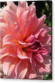 Acrylic Print featuring the photograph Dahlia Named Fire Magic by J McCombie