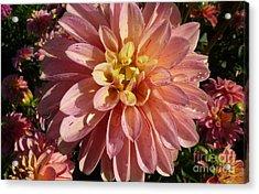 Acrylic Print featuring the photograph Dahlia October by Susan Garren
