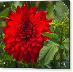 Dahlia Perfection Acrylic Print