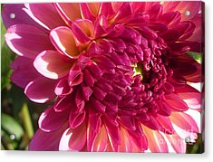 Acrylic Print featuring the photograph Dahlia Pink 1 by Susan Garren