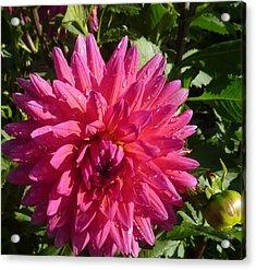 Acrylic Print featuring the photograph Dahlia Pink by Susan Garren