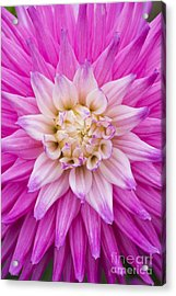 Dahlia Ruskin Andrea Flower Acrylic Print by Tim Gainey