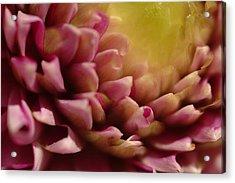 Dahlia Up Close Acrylic Print