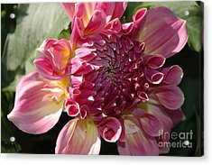 Acrylic Print featuring the photograph Dahlia V by Christiane Hellner-OBrien