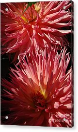 Dahlia Vi Acrylic Print