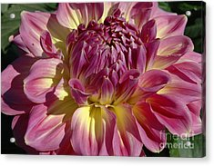 Acrylic Print featuring the photograph Dahlia Vii by Christiane Hellner-OBrien