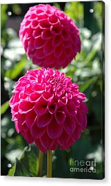 Acrylic Print featuring the photograph Dahlia Xi by Christiane Hellner-OBrien