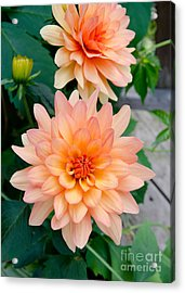 Acrylic Print featuring the photograph Dahlias by Laurel Best