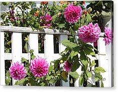 Dahlias Over The Fence Acrylic Print by Carol Groenen