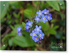 Dainty Blue Acrylic Print