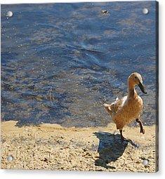 Dainty Duck Acrylic Print