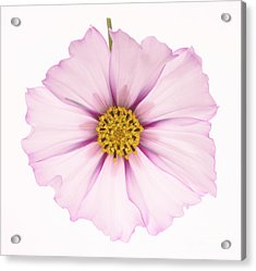Dainty Pink Cosmos On White Background. Acrylic Print by Rosemary Calvert