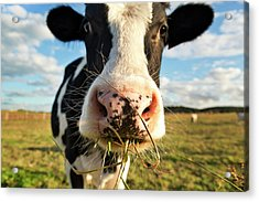 Dairy Cow Acrylic Print by Tony C French