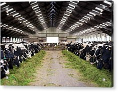 Dairy Cows Acrylic Print by Aberration Films Ltd