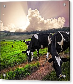 Dairy Cows At Sunset Acrylic Print by Debra and Dave Vanderlaan