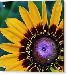 Daisey Of A Different Color Acrylic Print by Bruce Bley