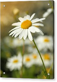 Daisies ... Again - Original Acrylic Print by Variance Collections