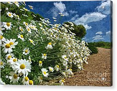 Daisies By The Path - Photo Art Acrylic Print