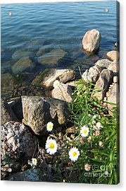 Daisies By The River Acrylic Print by Margaret McDermott
