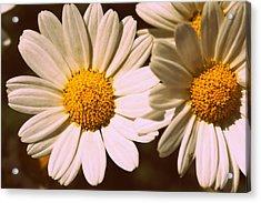 Daisies Acrylic Print by Chevy Fleet