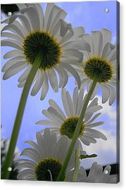 Daisies From Down Under Acrylic Print by Marisa Horn