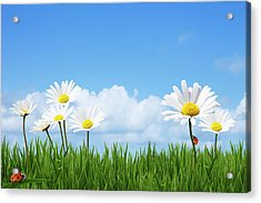 Daisies In A Summer Meadow Acrylic Print by Andrew Dernie
