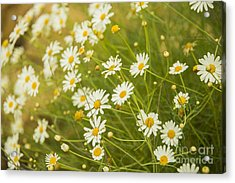 Daisies In A Summer Medow Acrylic Print