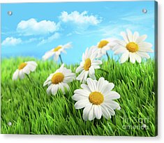 Daisies In Grass Against A Blue Sky Acrylic Print by Sandra Cunningham