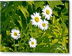 Daisies In Provincetown Acrylic Print