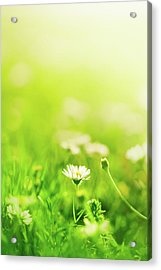 Daisies In The Field Acrylic Print by Jeja