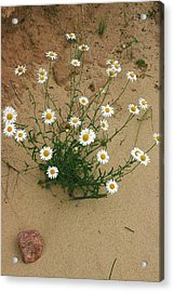 Daisies In The Sand Acrylic Print by Randy Pollard