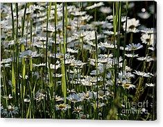 Daisies Acrylic Print by Jim Gillen